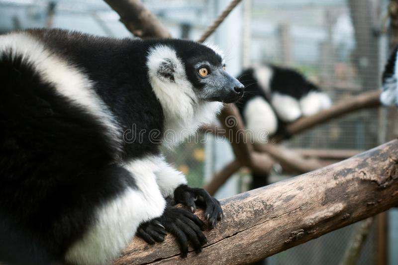 Black and white lemur on tree branch. Portrait of black and white lemur on tree branch royalty free stock photo