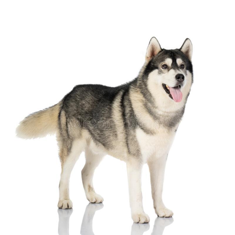 Black and white siberian Husky dog on white stock image