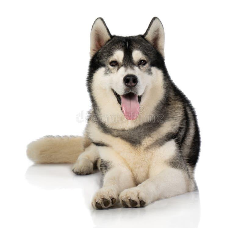 Black and white siberian Husky dog on white stock photos