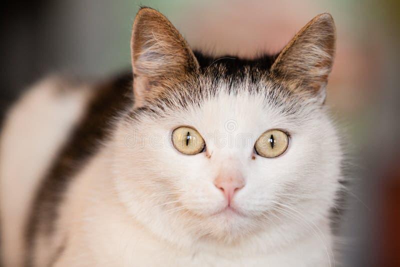 Portrait blanc de chat image libre de droits