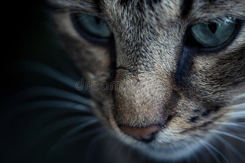 Portrait of blue-eyed cat. Close up Portrait of blue-eyed cat royalty free stock images
