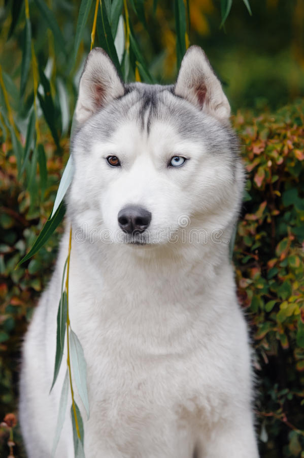 Portrait of a blue eyed Husky. In green foliage royalty free stock image