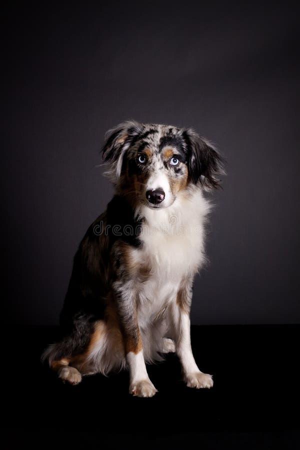Portrait of Blue Merle Australian Shepherd royalty free stock photography