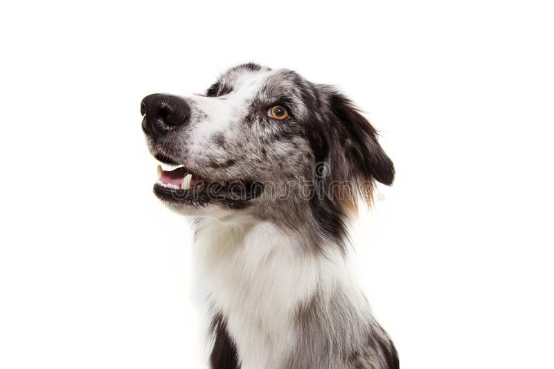 Portrait blue merle border collie dog looking up. Isolated on white background. obedience concept.  stock photo