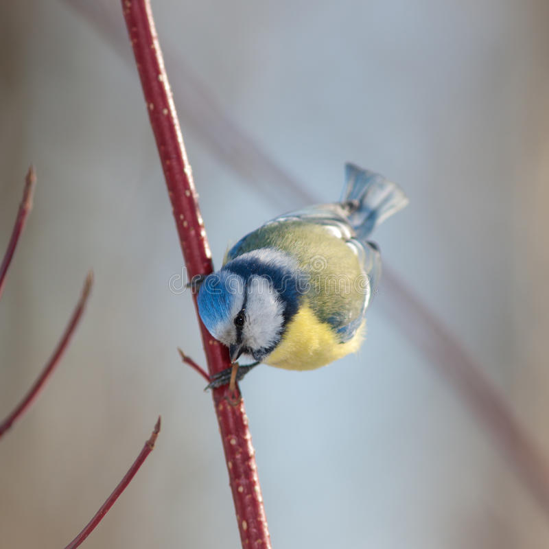 Curious blue tit