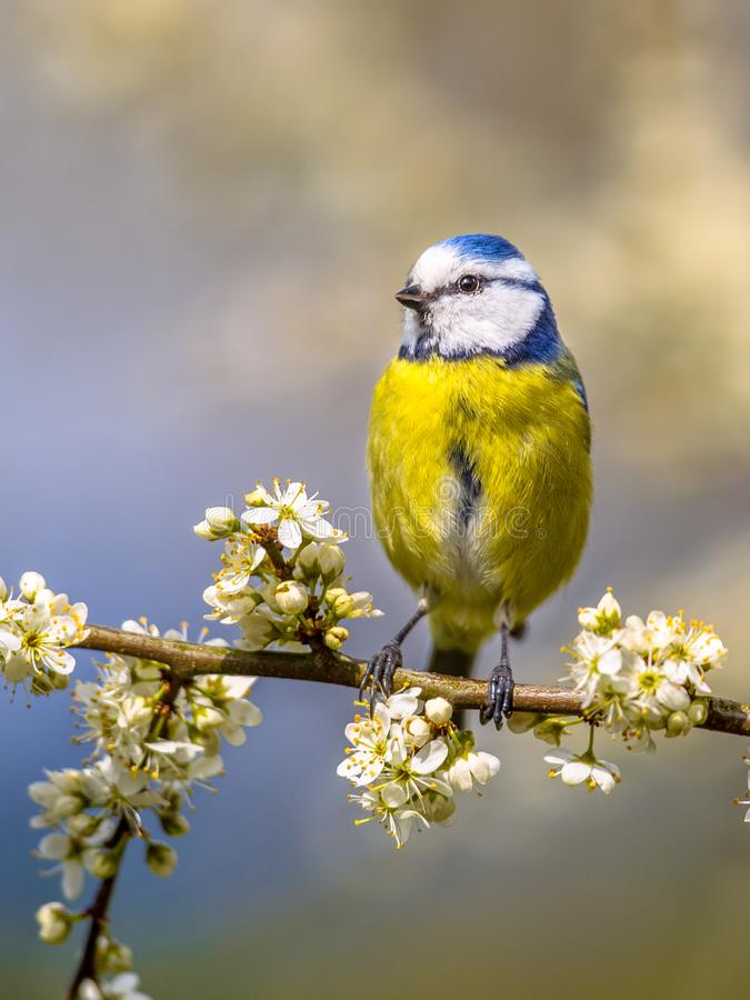 Blue tit portrait in blossom royalty free stock photography