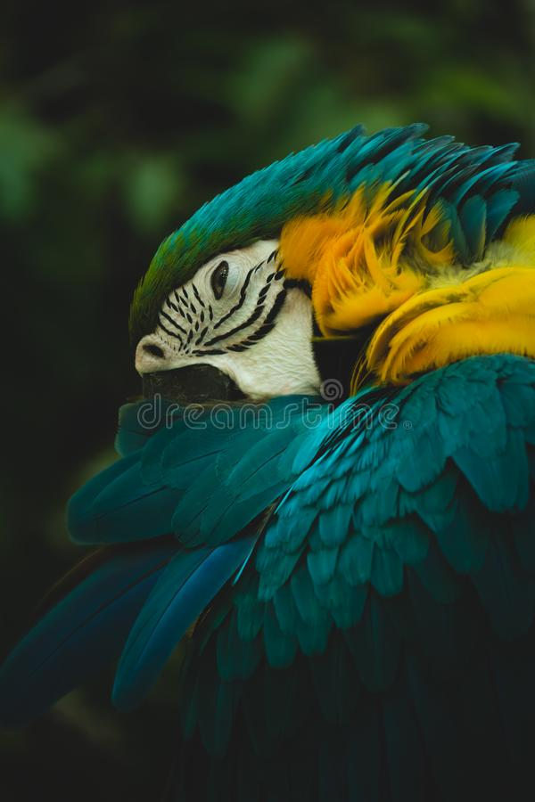 Portrait of blue-and-yellow macaw & x28;Ara ararauna& x29;. Portrait of blue-and-yellow macaw & x28;Ara ararauna& x29 stock images