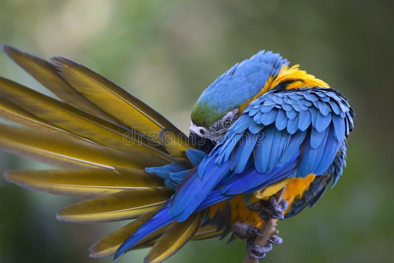 Portrait of blue-and-yellow macaw (Ara ararauna). Grooming stock photo