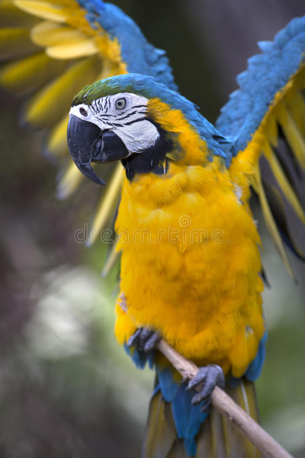 Portrait of blue-and-yellow macaw (Ara ararauna). Grooming stock photos