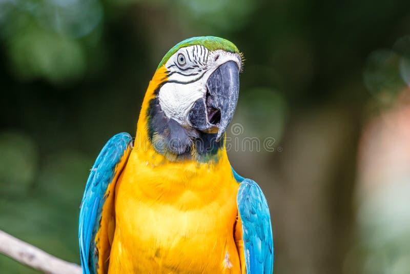 Portrait of Blue-and-yellow macaw. Blue-and-yellow macaw, Bali Bird park, Batubulan, Bali Island, Indonesia royalty free stock photo