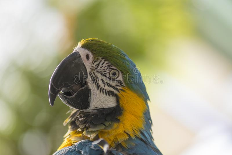 Portrait of a blue and yellow macaw. Portrait of the head of a blue and yellow macaw, defocused background stock photography