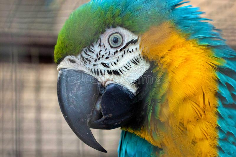 Portrait of the blue-yellow macaw parrot Ara ararauna. In aviary royalty free stock images