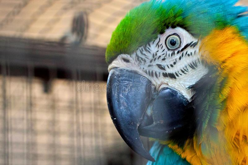Portrait of the blue-yellow macaw parrot. Ara ararauna in aviary royalty free stock image