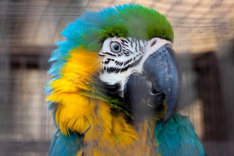 Portrait of the blue-yellow macaw parrot. Ara ararauna in aviary royalty free stock photography