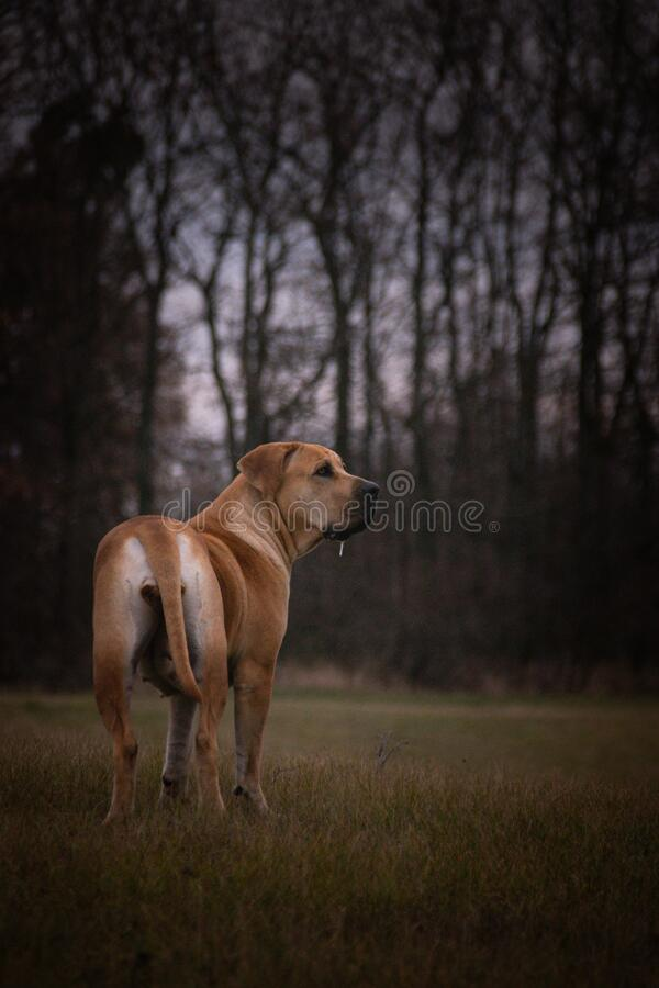 Portrait of boerboel dog, in nature with mystic atmosphere. She looks like lion stock photos