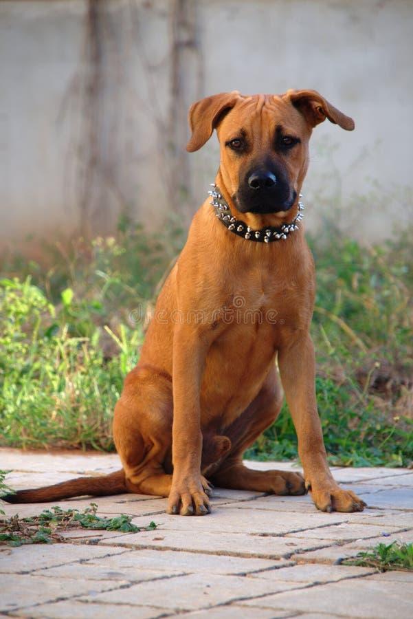Portrait of Boerboel - Pit Bull vs Boerboel - German Shepherd mixed breed puppy stock image