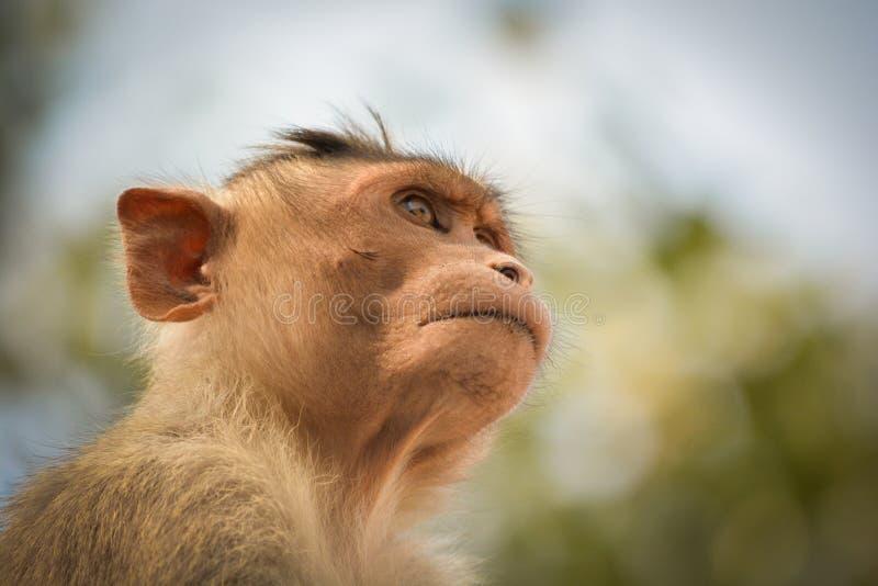 Portrait of bonnet macaque monkey stock photos