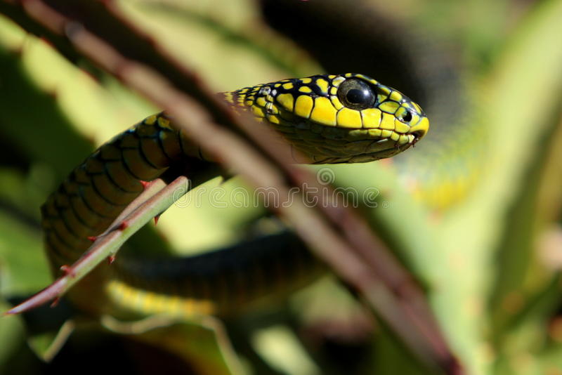 Portrait of a Boomslang / Tree snake stock photos