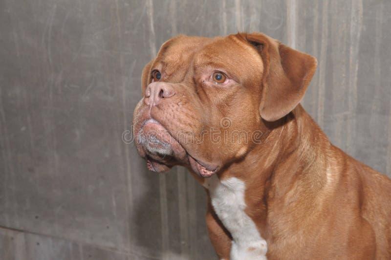 Portrait of the Bordeaux mastiff. Pet. Pet. Big dogs royalty free stock photography