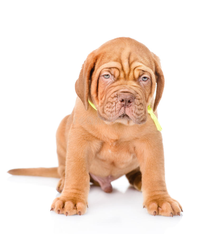 Portrait Bordeaux puppy dog in fron. isolated on white background.  royalty free stock image