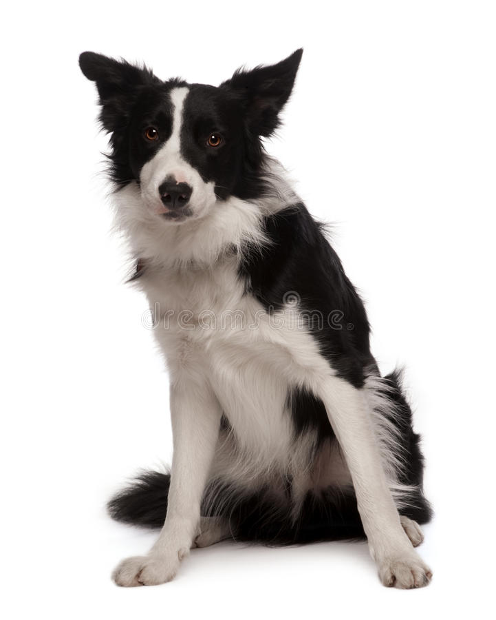 Portrait Of Border Collie, 3 Years Old, Sitting Royalty Free Stock Photo