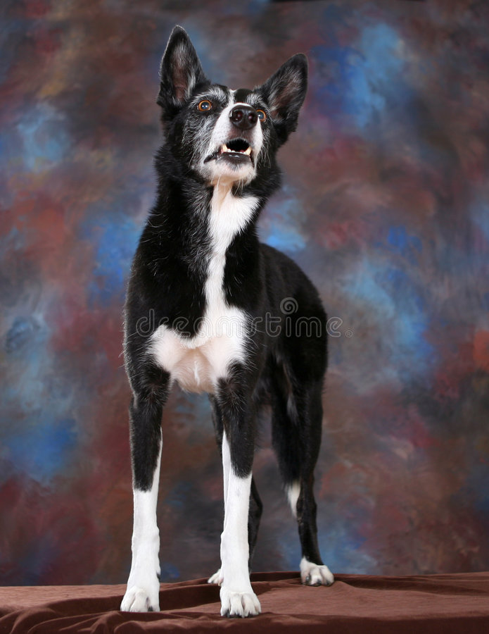 Portrait of a Border Collie stock photos