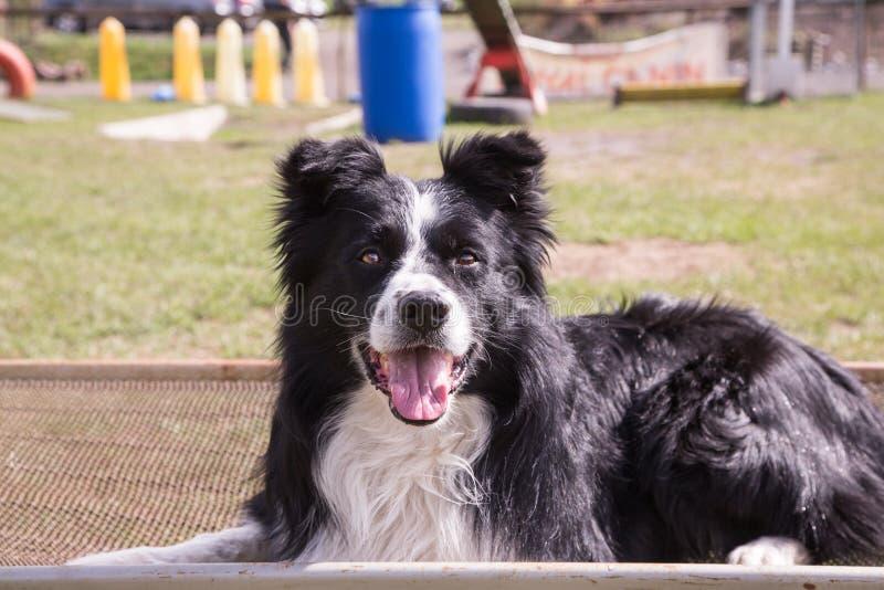 Portrait of border collie dog stock photos