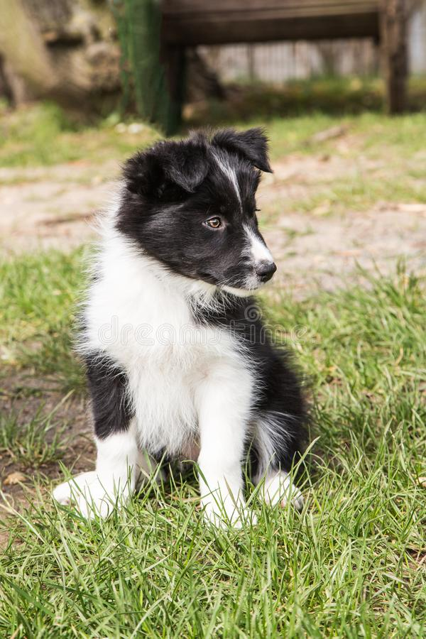 Portrait of border collie dog stock photography