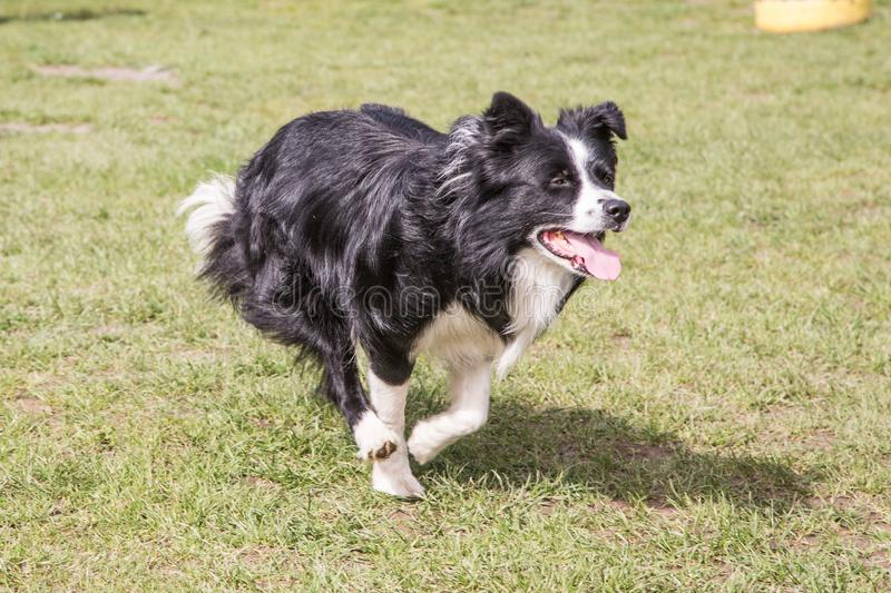 Portrait of border collie dog royalty free stock photography