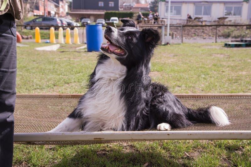 Portrait of border collie dog stock image