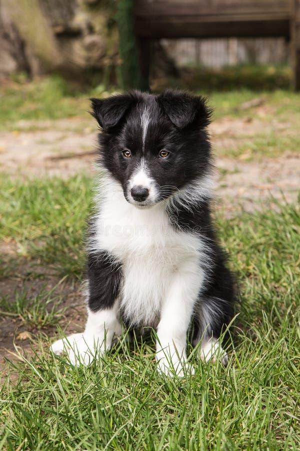Portrait of border collie dog stock photo