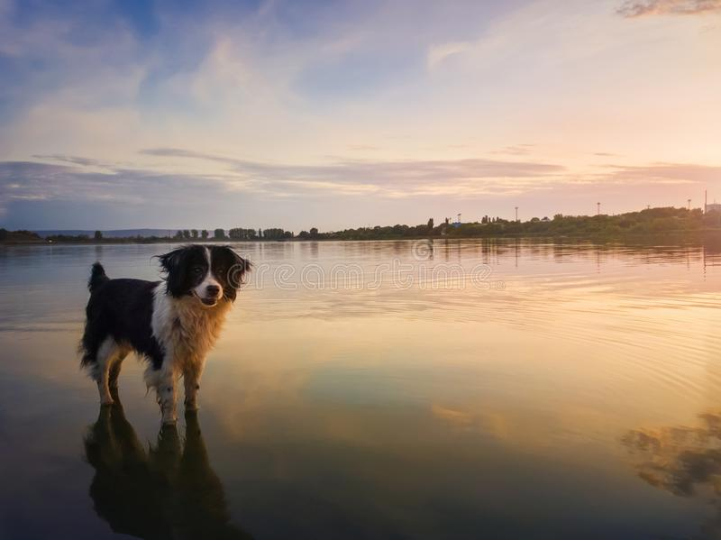 Portrait of border collie dog standing in a pond water over sunset background with reflection on the lake surface. Beautiful pet royalty free stock images