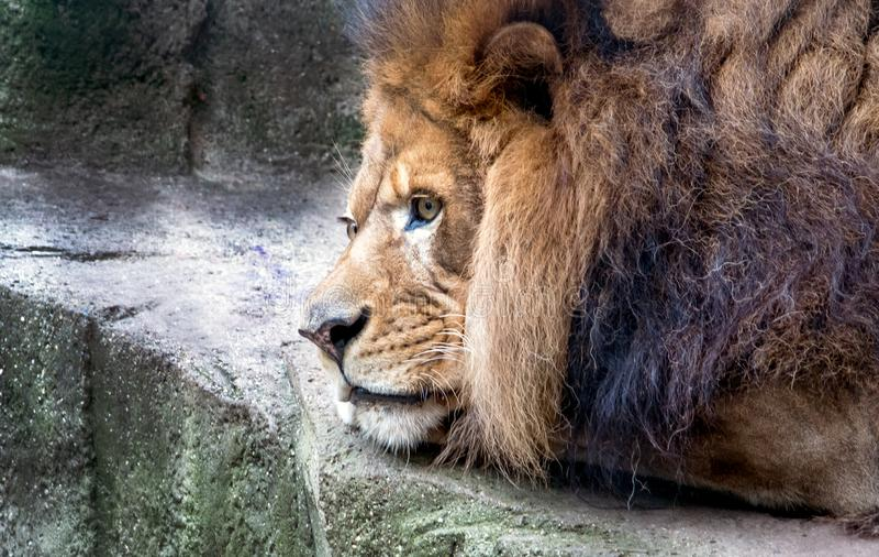 Portrait of a bored lion stock images