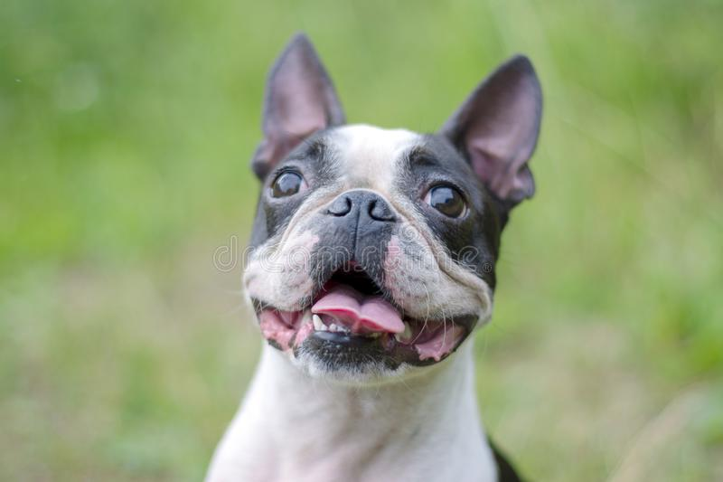 Portrait of Boston Terrier dog with tongue and smile on the background of green nature. royalty free stock image