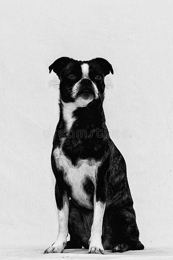 Portrait of a Boston Terrier Pug or a Bug. This cute dog is a mixture of a Boston terrier and a pug, they often call them bugs. Picture taken on a white stock images
