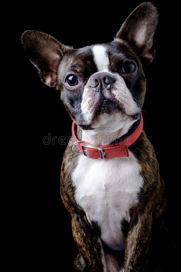 Portrait boston terrier pure breed black background closeup looking at camera stock image