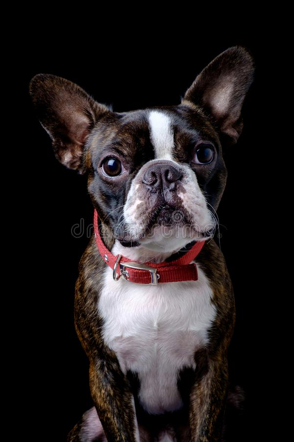 Portrait boston terrier pure breed black background closeup stock photos