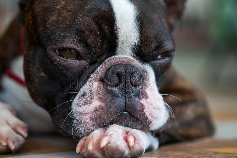 Portrait boston terrier pure breed sad face background closeup stock photography
