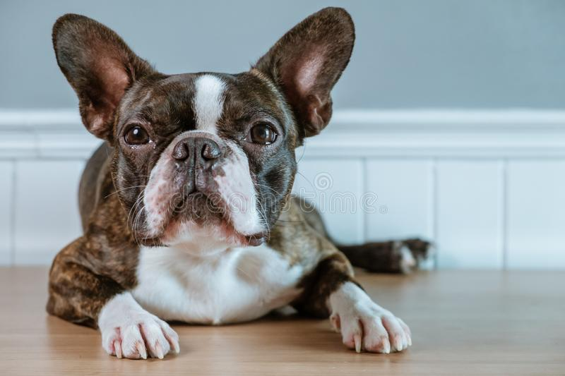 Portrait boston terrier pure breed soft grey background closeup stock images