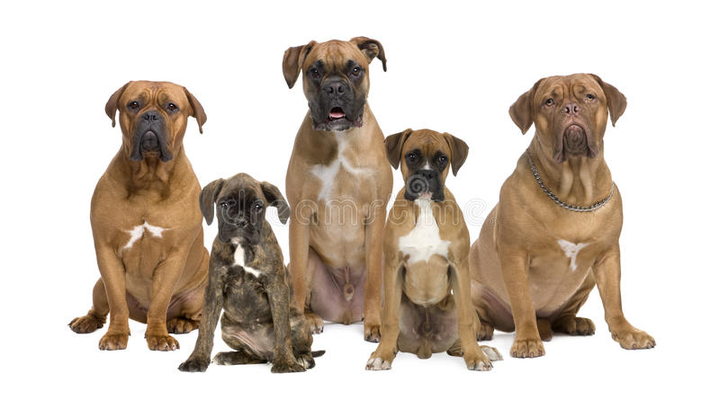 Portrait of boxer dogs against white background stock image