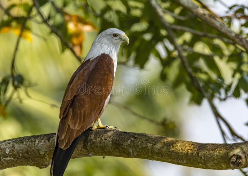 Portrait of a Brahminy Kite - Haliastur Indus. The brahminy kite, also known as the red-backed sea-eagle in Australia, is a medium-sized bird of prey in the royalty free stock photos
