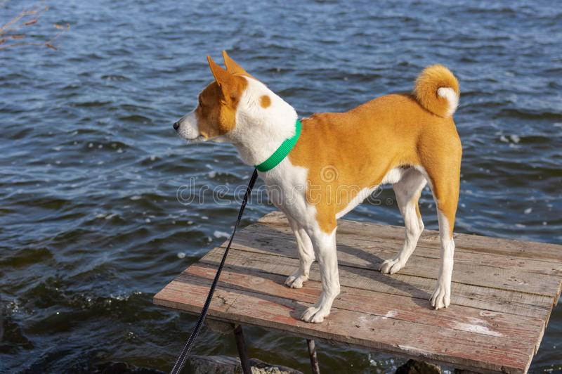 Curious Basenji dog standing on fishermen wooden table at fall season on Dnipro river, Ukraine stock image