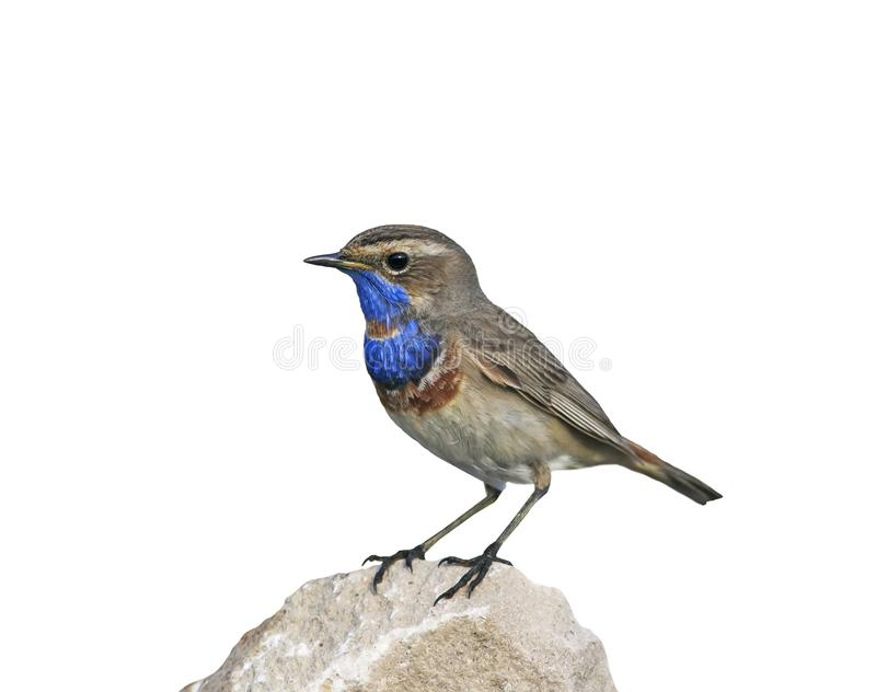Portrait of a bright blue bird standing on a rock on an isolated stock photography