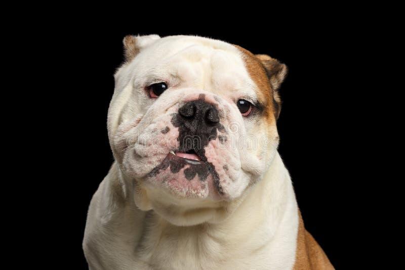 Download Portrait Of British Bulldog On Isolated Black Background Stock Image - Image of dangerous, fluffy: 98939379