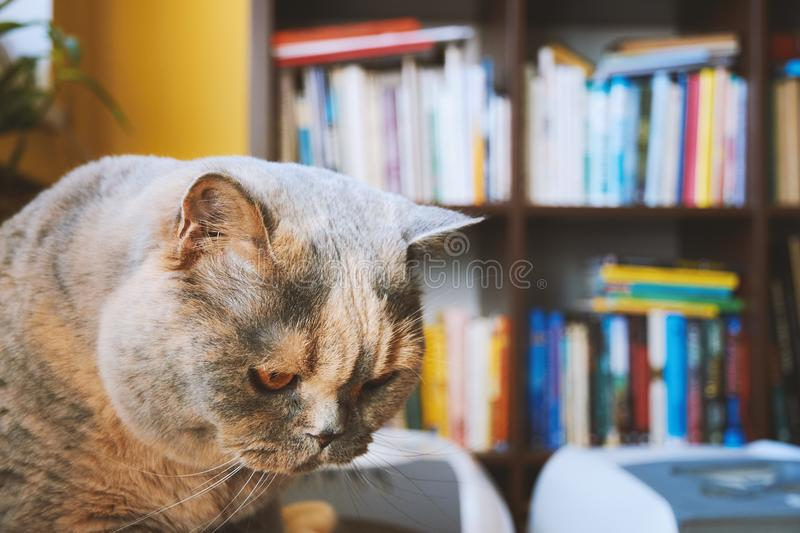 Portrait of a British cat head with a blurred library with books royalty free stock photos