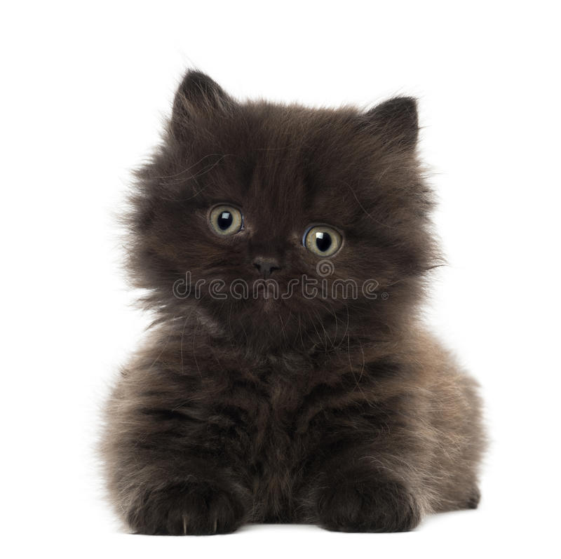 Download Portrait Of British Longhair Kitten Stock Images - Image: 27271264