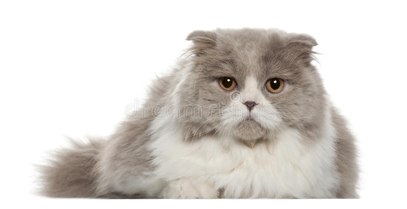 Download Portrait Of British Shorthair Cat, 6 Months Old Stock Photo - Image: 25517584