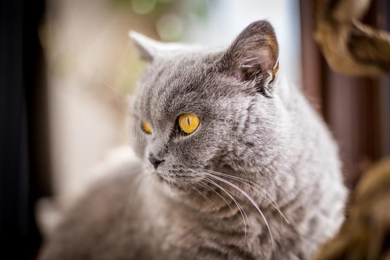 British Shorthair cat with blue and grey fur. Portrait of British Shorthair cat with blue and grey fur. Shallow depth of field stock images