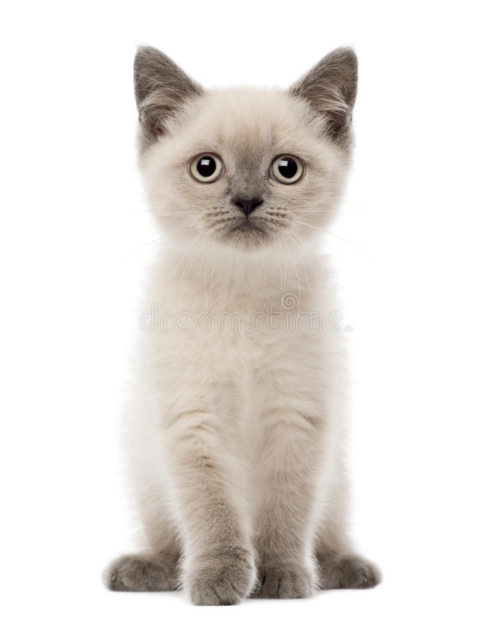 Download Portrait Of British Shorthair Kitten Sitting Stock Image - Image: 27270923