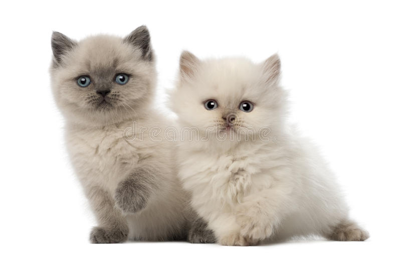 Download Portrait Of British Shorthair Kitten Sitting Stock Image - Image: 27271301